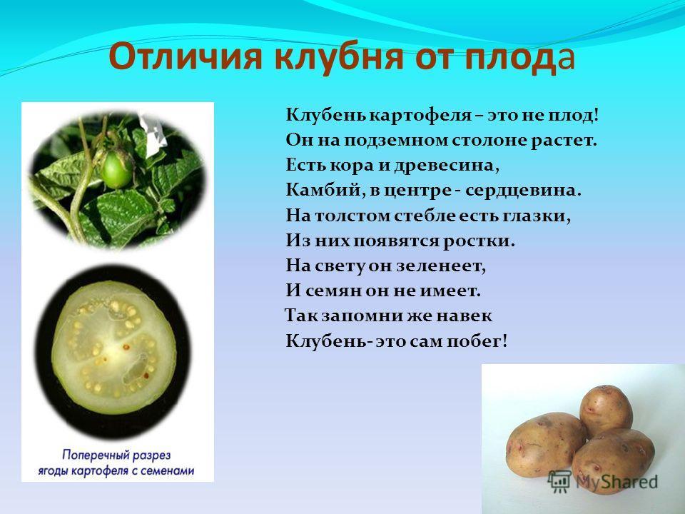 Отличия клубня от плода Клубень картофеля – это не плод! Он на подземном столоне растет. Есть кора и древесина, Камбий, в центре - сердцевина. На толстом стебле есть глазки, Из них появятся ростки. На свету он зеленеет, И семян он не имеет. Так запом