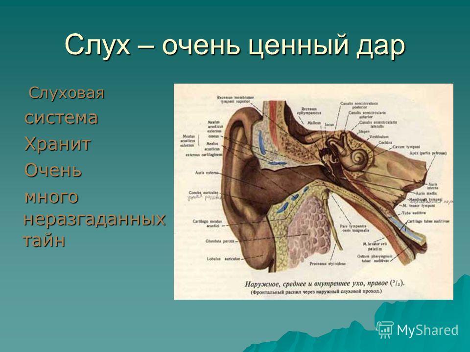 Слух – очень ценный дар Слуховая система система Хранит Хранит Очень Очень много неразгаданных тайн много неразгаданных тайн