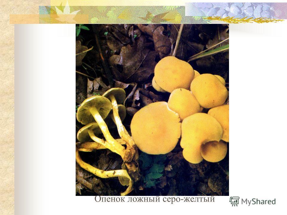 Опенок ложный серо-желтый