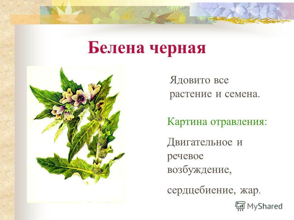 Белена черная Ядовито все растение и семена. Картина отравления: Двигательное и речевое возбуждение, сердцебиение, жар.