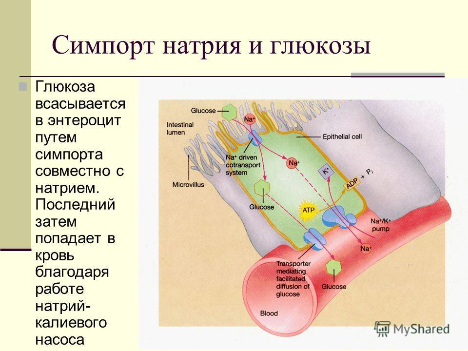 Симпорт натрия и глюкозы Глюкоза всасывается в энтероцит путем симпорта совместно с натрием. Последний затем попадает в кровь благодаря работе натрий- калиевого насоса