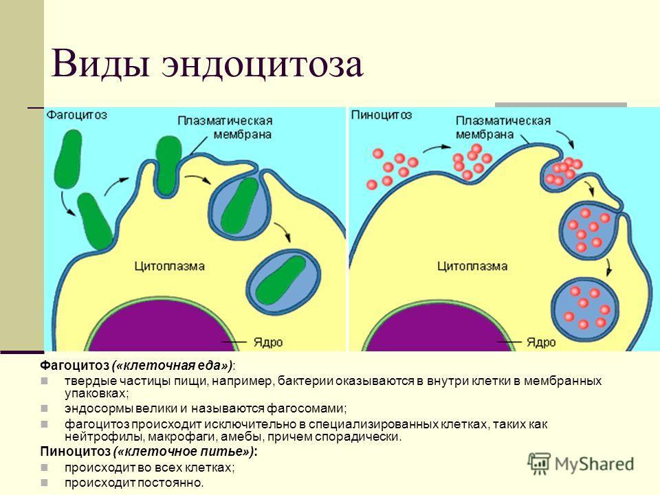Виды эндоцитоза Фагоцитоз («клеточная еда»): твердые частицы пищи, например, бактерии оказываются в внутри клетки в мембранных упаковках; эндосормы велики и называются фагосомами; фагоцитоз происходит исключительно в специализированных клетках, таких