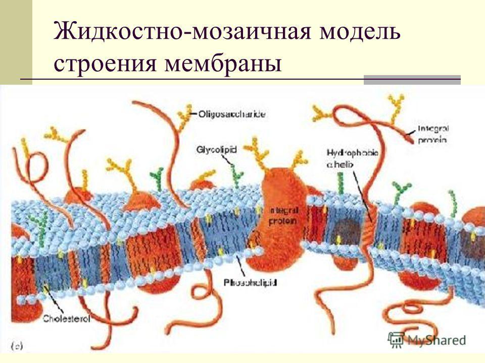Жидкостно-мозаичная модель строения мембраны