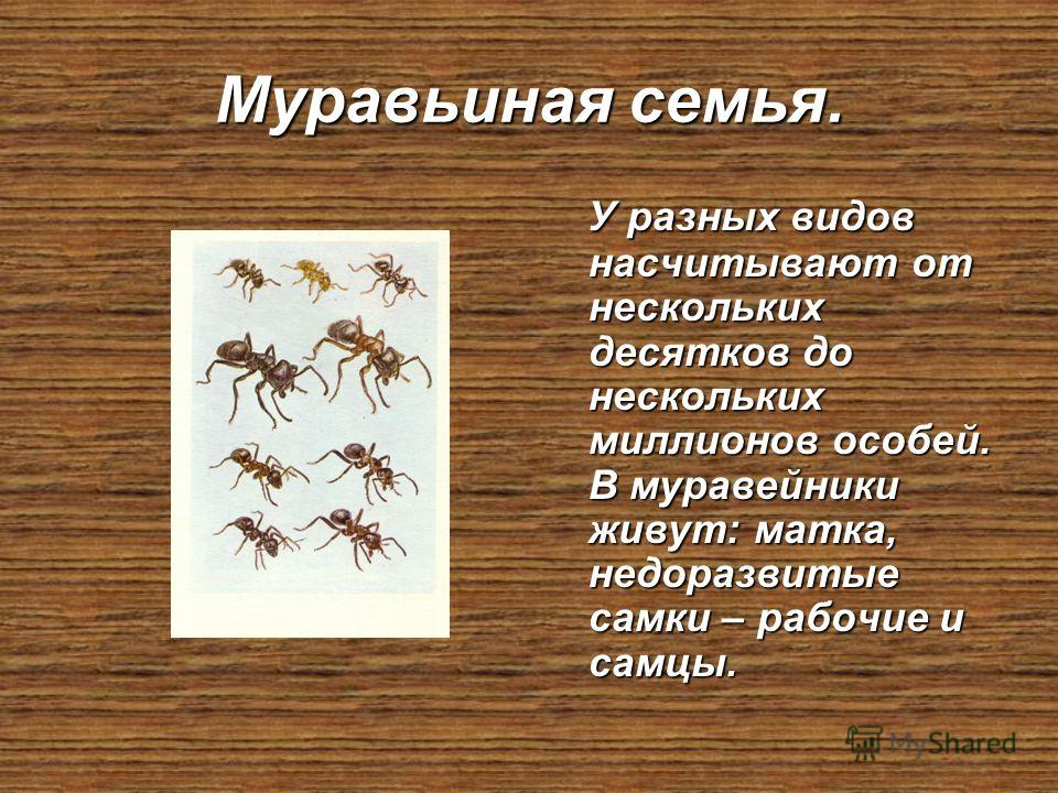 Муравьиная семья. У разных видов насчитывают от нескольких десятков до нескольких миллионов особей. В муравейники живут: матка, недоразвитые самки – рабочие и самцы. У разных видов насчитывают от нескольких десятков до нескольких миллионов особей. В