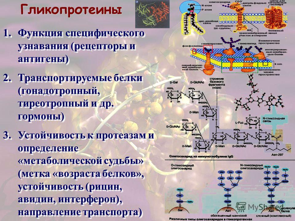 Гликопротеины 1.Функция специфического узнавания (рецепторы и антигены) 2.Транспортируемые белки (гонадотропный, тиреотропный и др. гормоны) 3.Устойчивость к протеазам и определение «метаболической судьбы» (метка «возраста белков», устойчивость (рици