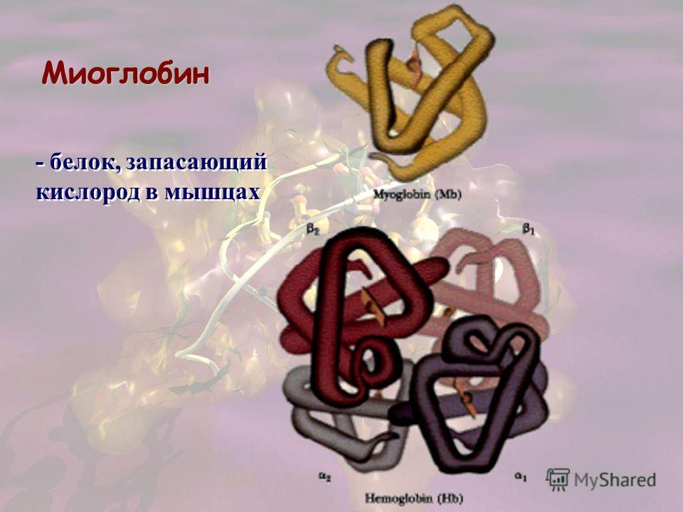 Миоглобин - белок, запасающий кислород в мышцах