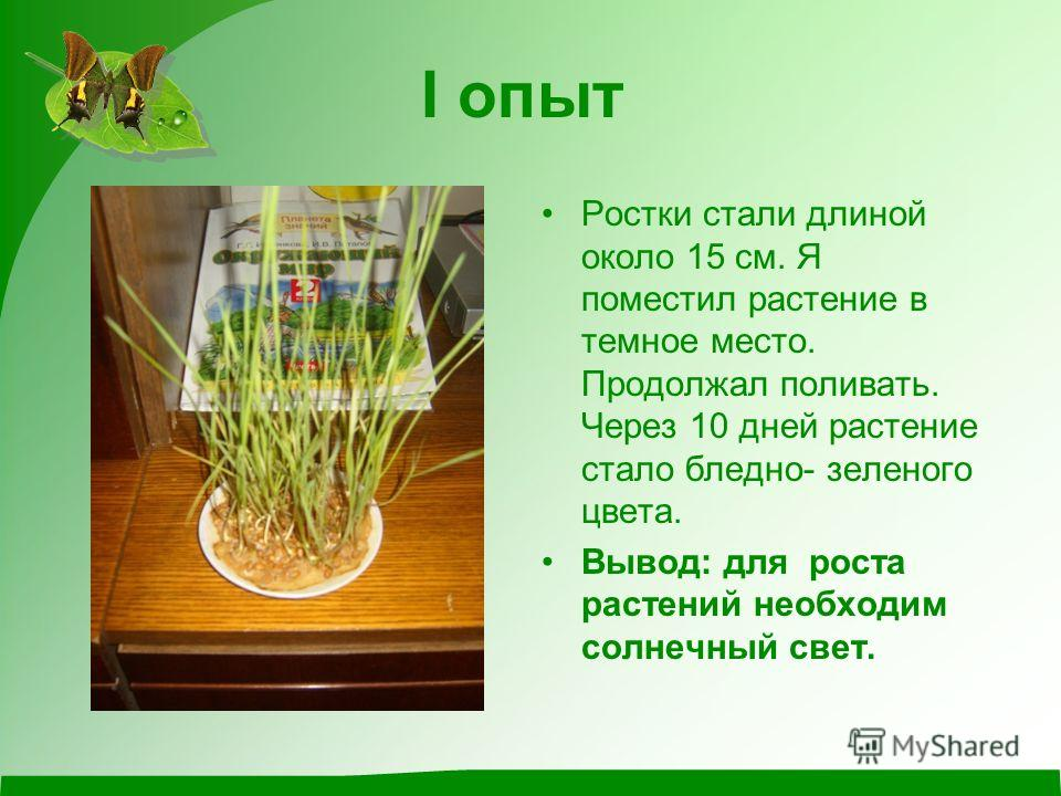 I опыт Ростки стали длиной около 15 см. Я поместил растение в темное место. Продолжал поливать. Через 10 дней растение стало бледно- зеленого цвета. Вывод: для роста растений необходим солнечный свет.