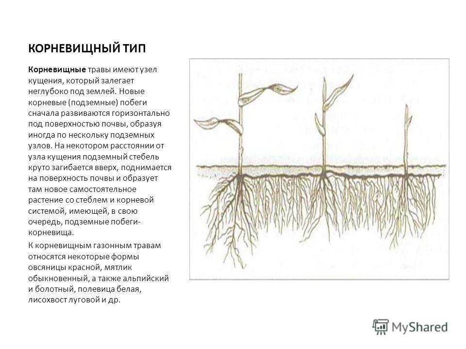 КОРНЕВИЩНЫЙ ТИП Корневищные травы имеют узел кущения, который залегает неглубоко под землей. Новые корневые (подземные) побеги сначала развиваются горизонтально под поверхностью почвы, образуя иногда по нескольку подземных узлов. На некотором расстоя