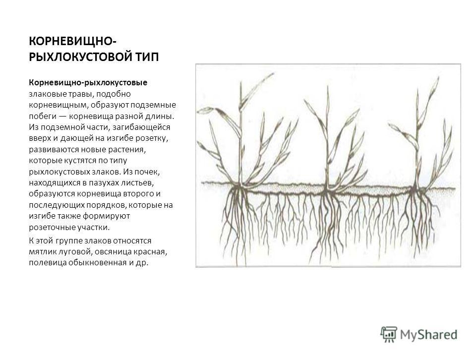 КОРНЕВИЩНО- РЫХЛОКУСТОВОЙ ТИП Корневищно-рыхлокустовые злаковые травы, подобно корневищным, образуют подземные побеги корневища разной длины. Из подземной части, загибающейся вверх и дающей на изгибе розетку, развиваются новые растения, которые кустя