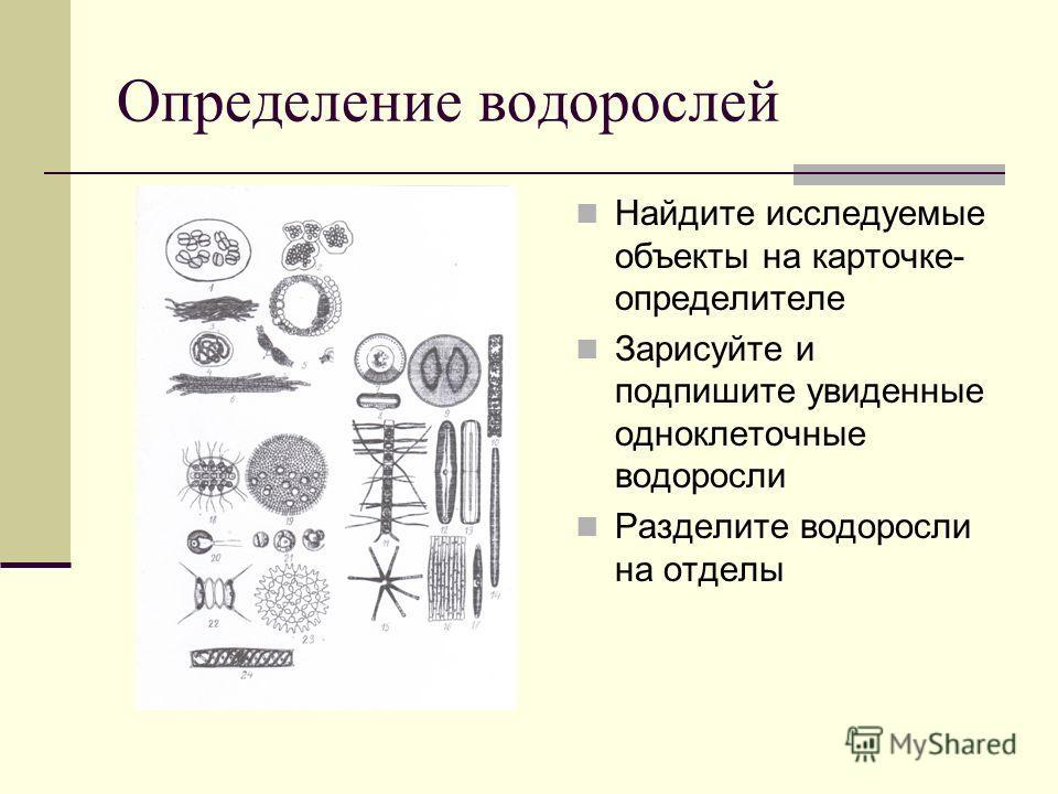 Определение водорослей Найдите исследуемые объекты на карточке- определителе Зарисуйте и подпишите увиденные одноклеточные водоросли Разделите водоросли на отделы
