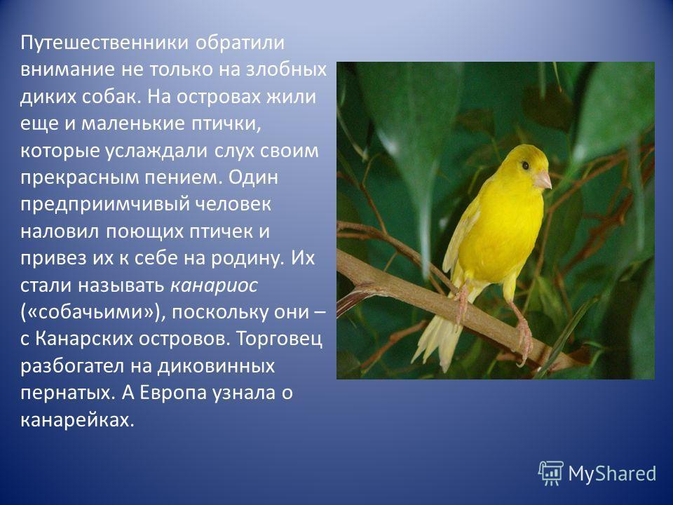 Путешественники обратили внимание не только на злобных диких собак. На островах жили еще и маленькие птички, которые услаждали слух своим прекрасным пением. Один предприимчивый человек наловил поющих птичек и привез их к себе на родину. Их стали назы