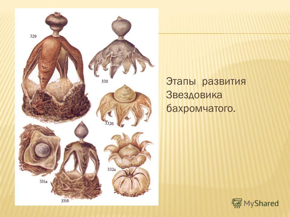 Этапы развития Звездовика бахромчатого.