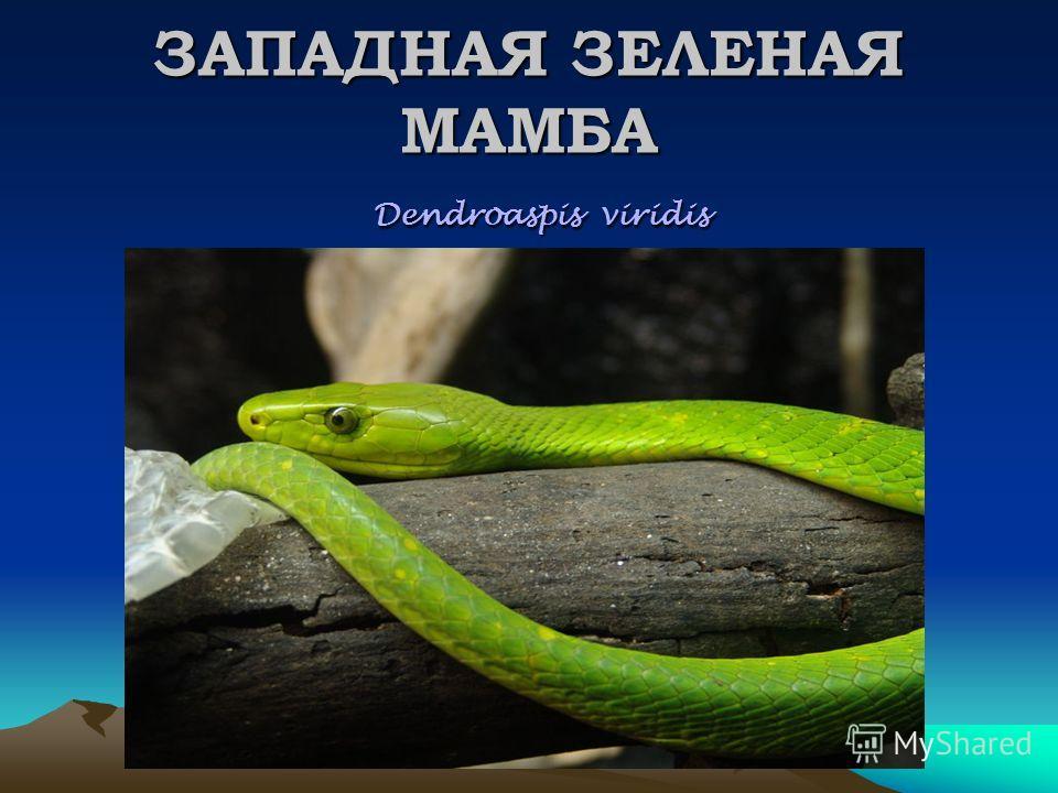 ЗАПАДНАЯ ЗЕЛЕНАЯ МАМБА Dendroaspis viridis