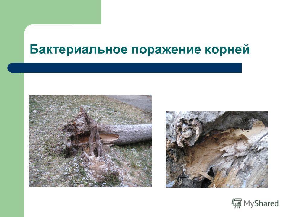 Бактериальное поражение корней