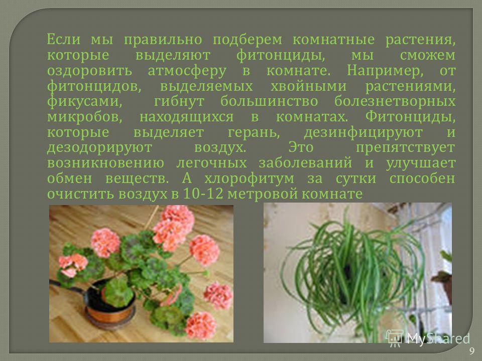 Если мы правильно подберем комнатные растения, которые выделяют фитонциды, мы сможем оздоровить атмосферу в комнате. Например, от фитонцидов, выделяемых хвойными растениями, фикусами, гибнут большинство болезнетворных микробов, находящихся в комнатах