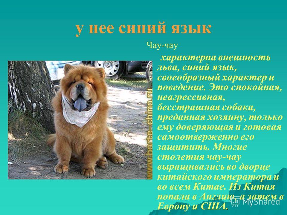 у нее синий язык Чау-чау. характерна внешность льва, синий язык, своеобразный характер и поведение. Это спокойная, неагрессивная, бесстрашная собака, преданная хозяину, только ему доверяющая и готовая самоотверженно его защитить. Многие столетия чау-