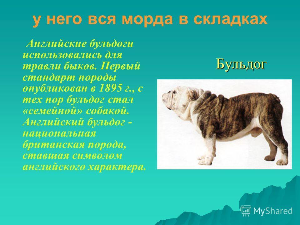 у него вся морда в складках Английские бульдоги использовались для травли быков. Первый стандарт породы опубликован в 1895 г., с тех пор бульдог стал «семейной» собакой. Английский бульдог - национальная британская порода, ставшая символом английског