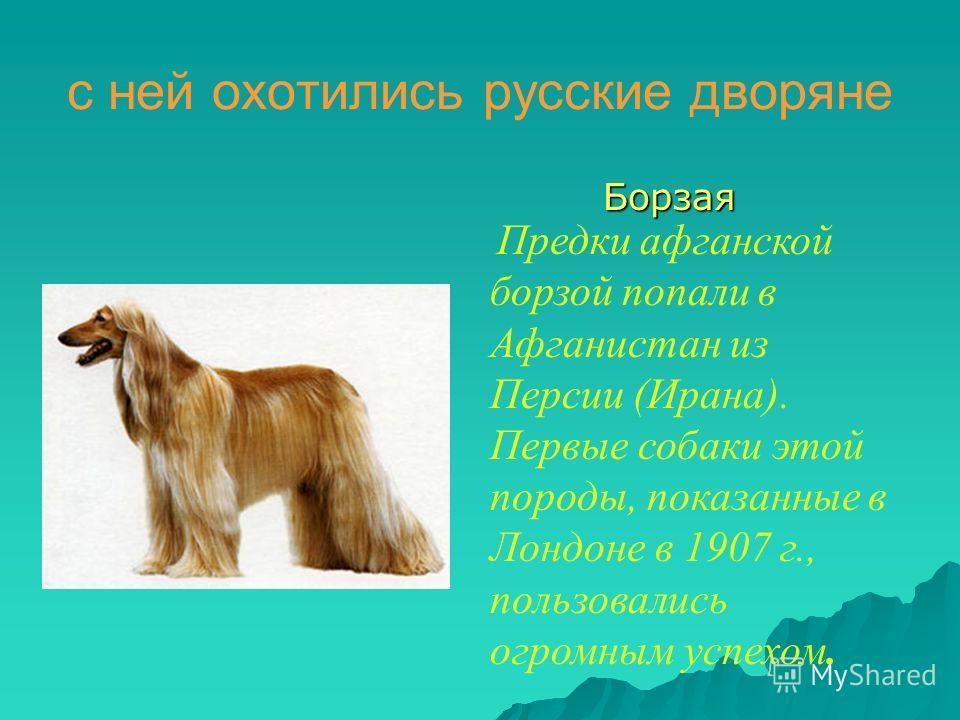 с ней охотились русские дворяне Борзая Борзая Предки афганской борзой попали в Афганистан из Персии (Ирана). Первые собаки этой породы, показанные в Лондоне в 1907 г., пользовались огромным успехом.