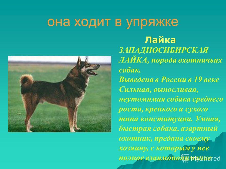 она ходит в упряжке Лайка ЗАПАДНОСИБИРСКАЯ ЛАЙКА, порода охотничьих собак. Выведена в России в 19 веке Сильная, выносливая, неутомимая собака среднего роста, крепкого и сухого типа конституции. Умная, быстрая собака, азартный охотник, предана своему