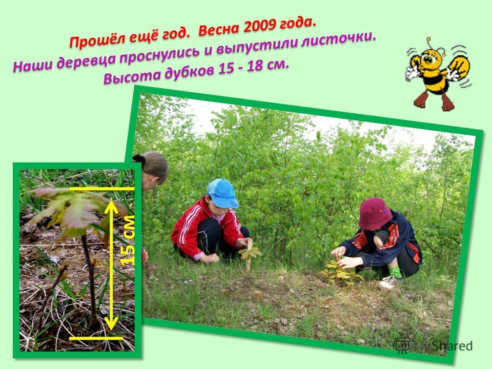 Прошёл ещё год. Весна 2009 года. Наши деревца проснулись и выпустили листочки. Высота дубков 15 - 18 см. 15 см