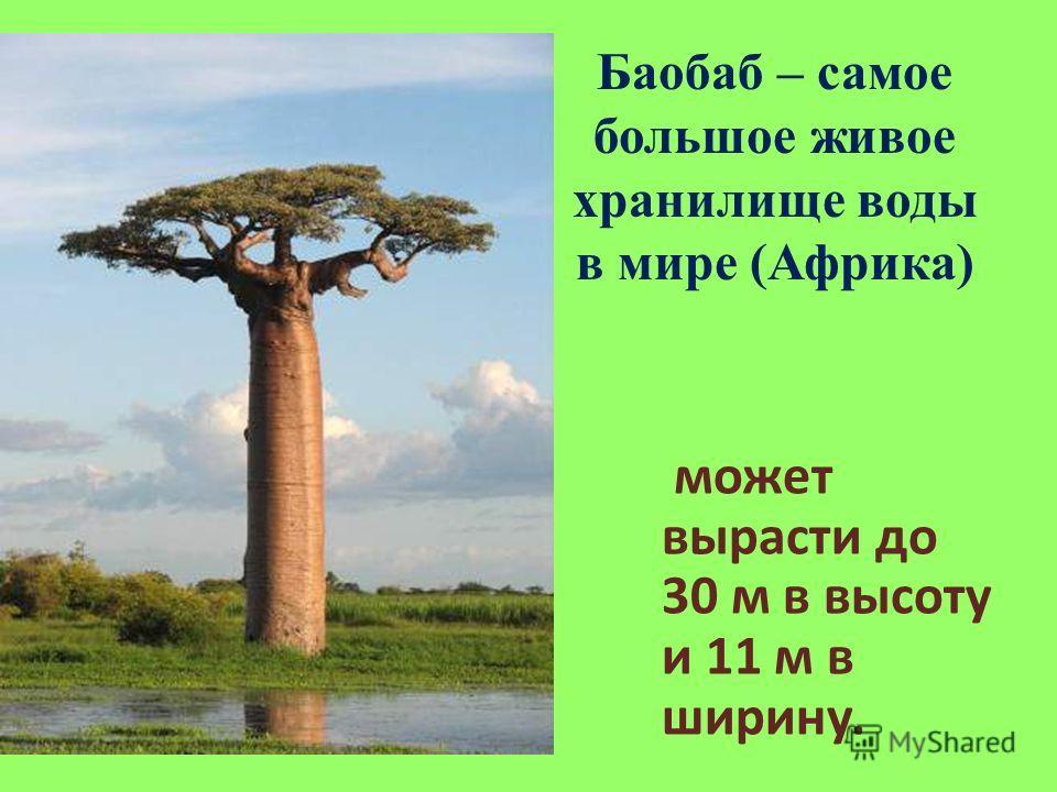 Баобаб – самое большое живое хранилище воды в мире (Африка) может вырасти до 30 м в высоту и 11 м в ширину.