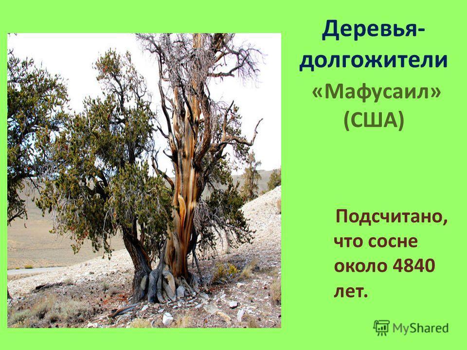 Деревья- долгожители «Мафусаил» (США) Подсчитано, что сосне около 4840 лет.