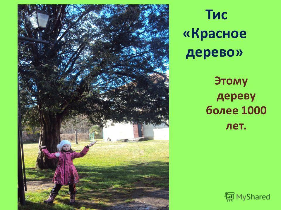 Тис «Красное дерево» Этому дереву более 1000 лет.