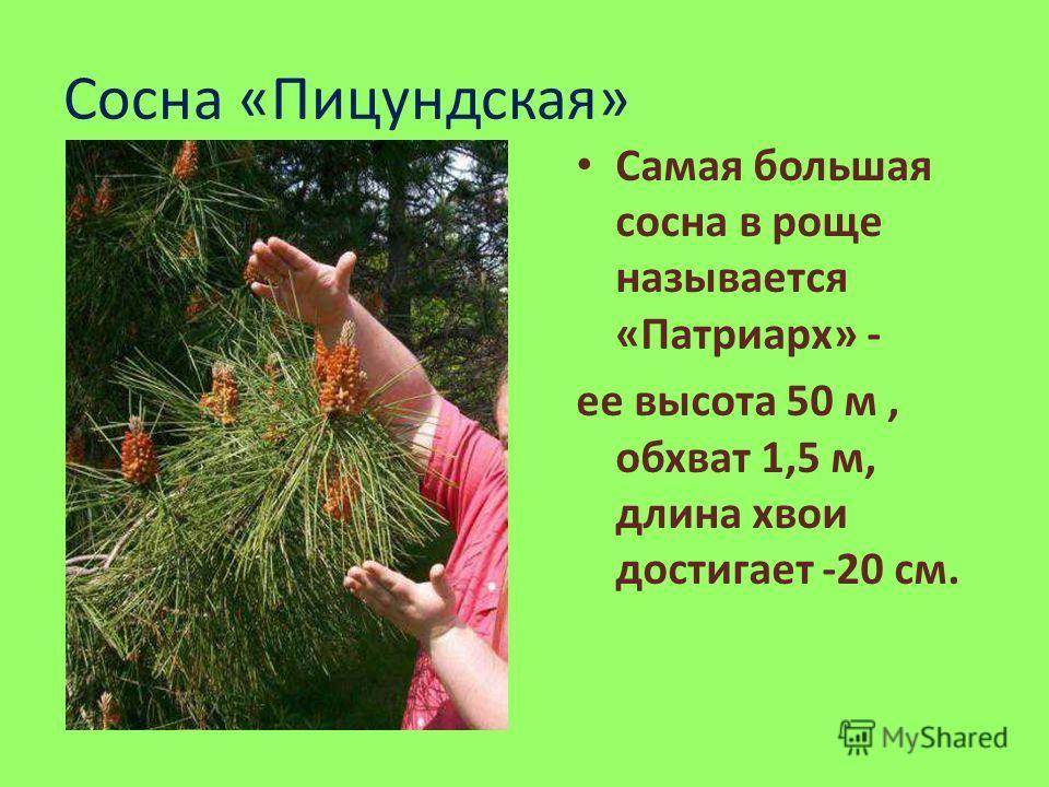 Сосна «Пицундская» Самая большая сосна в роще называется «Патриарх» - ее высота 50 м, обхват 1,5 м, длина хвои достигает -20 см.