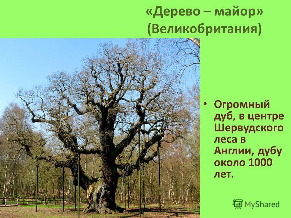 «Дерево – майор» (Великобритания) Огромный дуб, в центре Шервудского леса в Англии, дубу около 1000 лет.