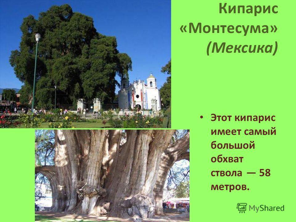 Кипарис «Монтесума» (Мексика) Этот кипарис имеет самый большой обхват ствола 58 метров.