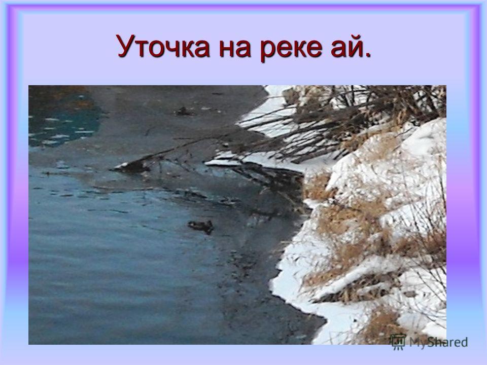 Уточка на реке ай.
