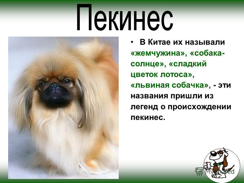 В Китае их называли «жемчужина», «собака- солнце», «сладкий цветок лотоса», «львиная собачка», - эти названия пришли из легенд о происхождении пекинес.