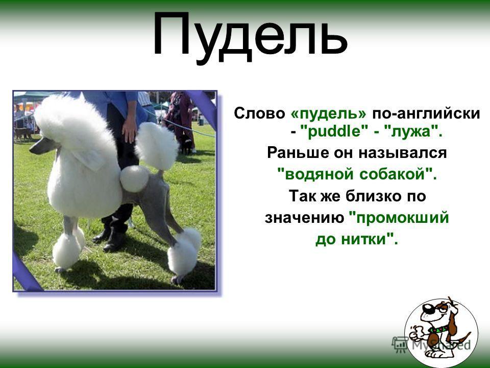 Слово «пудель» по-английски - puddle - лужа. Раньше он назывался водяной собакой. Так же близко по значению промокший до нитки.