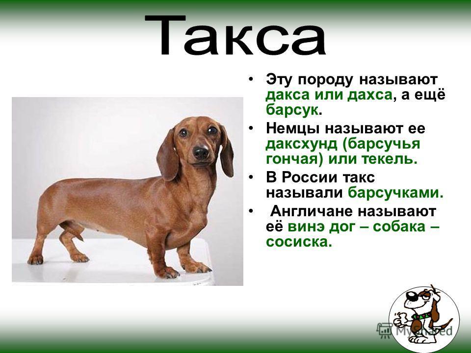 Эту породу называют дакса или дахса, а ещё барсук. Немцы называют ее даксхунд (барсучья гончая) или текель. В России такс называли барсучками. Англичане называют её винэ дог – собака – сосиска.