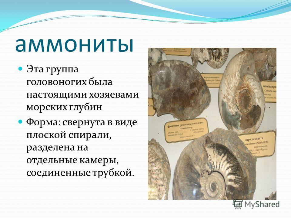 аммониты Эта группа головоногих была настоящими хозяевами морских глубин Форма: свернута в виде плоской спирали, разделена на отдельные камеры, соединенные трубкой.