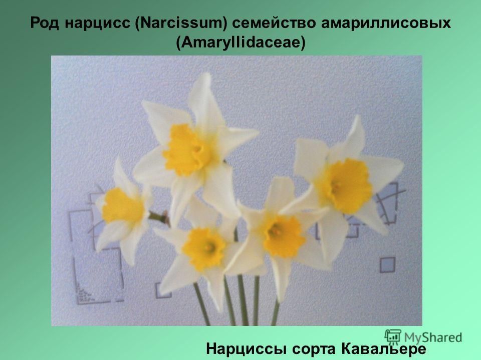 Нарциссы сорта Кавальере Род нарцисс (Narcissum) семейство амариллисовых (Аmaryllidaceae)