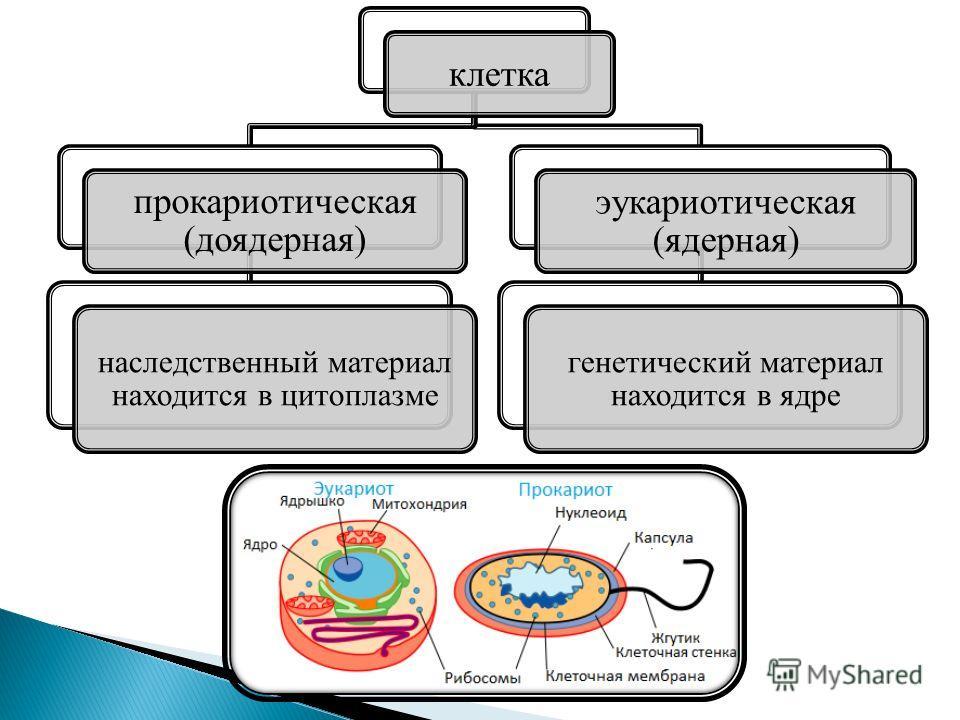 клетка прокариотическая (доядерная) наследственный материал находится в цитоплазме эукариотическая (ядерная) генетический материал находится в ядре