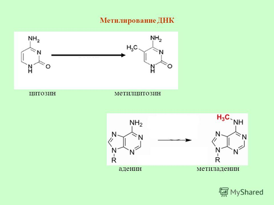 Метилирование ДНК цитозин метилцитозин аденин метиладенин