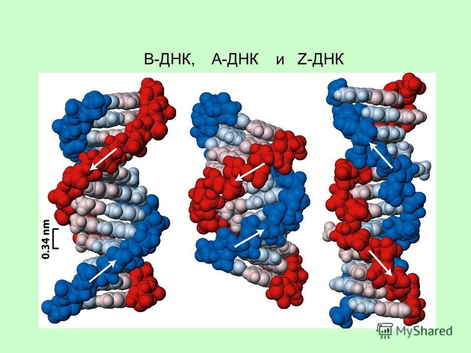 B-ДНК, A-ДНК и Z-ДНК
