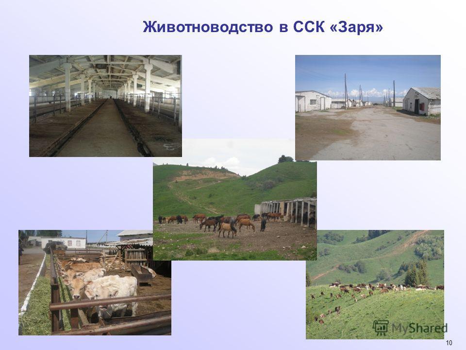 10 Животноводство в ССК «Заря»