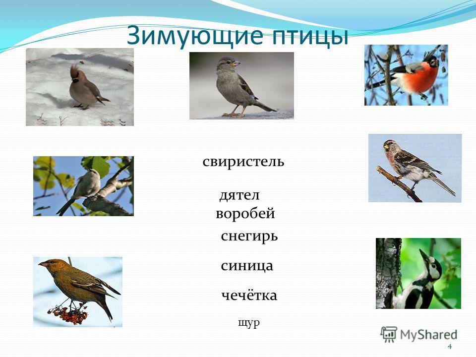 Зимующие птицы свиристель дятел воробей снегирь синица чечётка щур 4