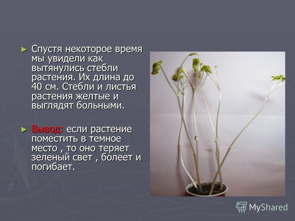 Спустя некоторое время мы увидели как вытянулись стебли растения. Их длина до 40 см. Стебли и листья растения желтые и выглядят больными. Спустя некоторое время мы увидели как вытянулись стебли растения. Их длина до 40 см. Стебли и листья растения же