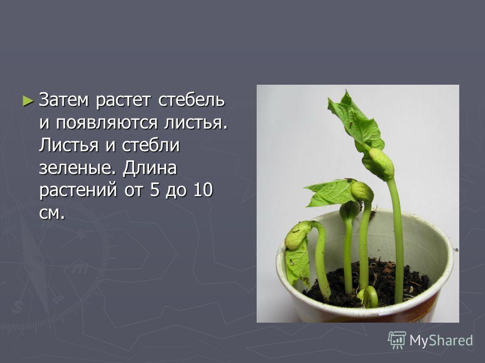 Затем растет стебель и появляются листья. Листья и стебли зеленые. Длина растений от 5 до 10 см. Затем растет стебель и появляются листья. Листья и стебли зеленые. Длина растений от 5 до 10 см.