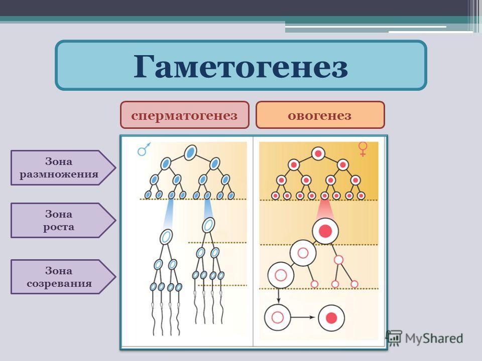 Гаметогенез сперматогенезовогенез Зона размножения Зона роста Зона созревания