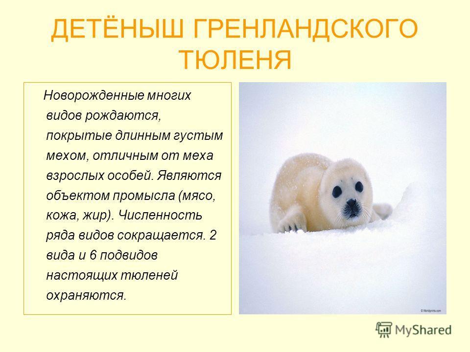 ДЕТЁНЫШ ГРЕНЛАНДСКОГО ТЮЛЕНЯ Новорожденные многих видов рождаются, покрытые длинным густым мехом, отличным от меха взрослых особей. Являются объектом промысла (мясо, кожа, жир). Численность ряда видов сокращается. 2 вида и 6 подвидов настоящих тюлене