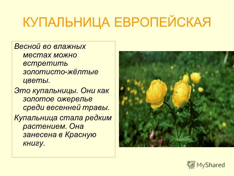 КУПАЛЬНИЦА ЕВРОПЕЙСКАЯ Весной во влажных местах можно встретить золотисто-жёлтые цветы. Это купальницы. Они как золотое ожерелье среди весенней травы. Купальница стала редким растением. Она занесена в Красную книгу.