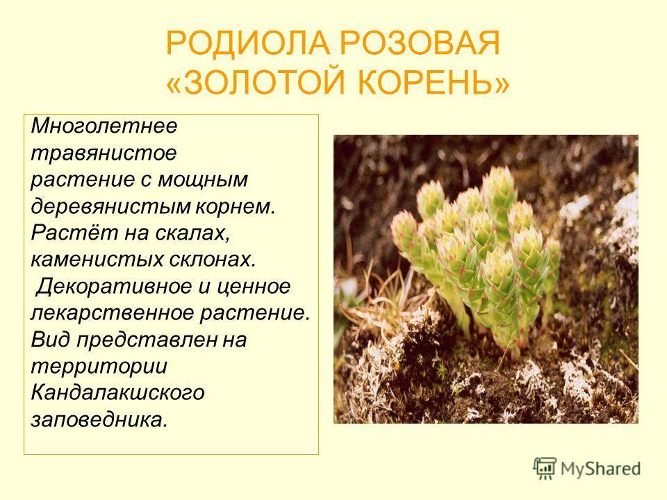 РОДИОЛА РОЗОВАЯ «ЗОЛОТОЙ КОРЕНЬ» Многолетнее травянистое растение с мощным деревянистым корнем. Растёт на скалах, каменистых склонах. Декоративное и ценное лекарственное растение. Вид представлен на территории Кандалакшского заповедника.