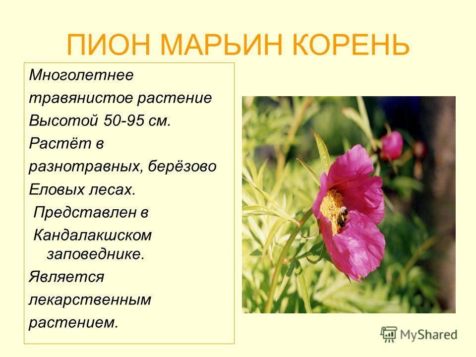 ПИОН МАРЬИН КОРЕНЬ Многолетнее травянистое растение Высотой 50-95 см. Растёт в разнотравных, берёзово Еловых лесах. Представлен в Кандалакшском заповеднике. Является лекарственным растением.