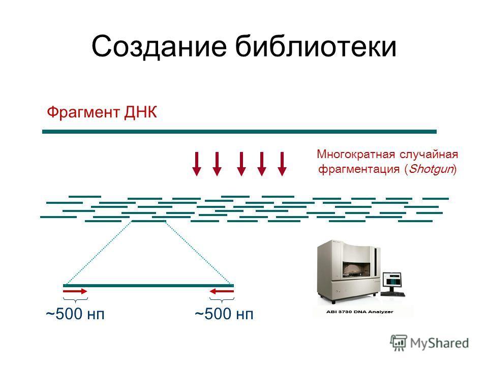 Многократная случайная фрагментация (Shotgun) Фрагмент ДНК ~500 нп