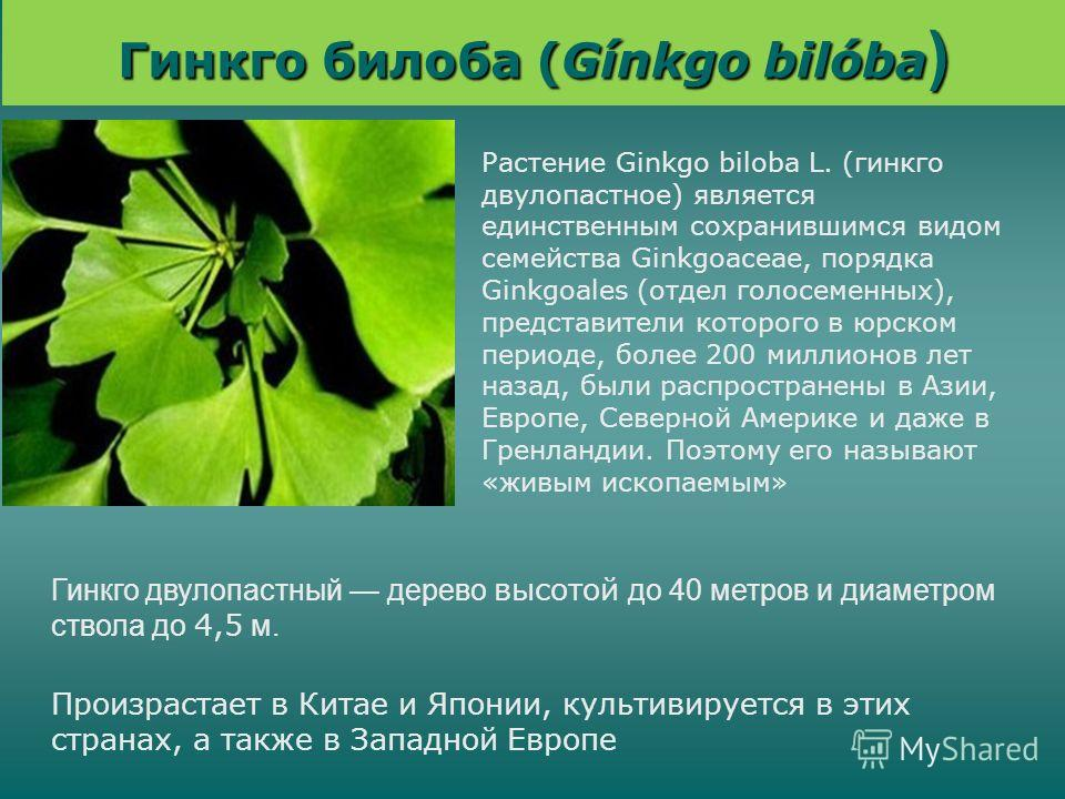 Гинкго билоба (Gínkgo bilóba ) Гинкго двулопастный дерево высотой до 40 метров и диаметром ствола до 4,5 м. Растение Ginkgo biloba L. (гинкго двулопастное) является единственным сохранившимся видом семейства Ginkgoaceae, порядка Ginkgoales (отдел гол